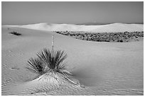 Yuccas and dune field at dusk. White Sands National Park ( black and white)