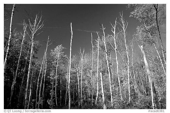 Forest of white birch trees against blue sky. Acadia National Park (black and white)