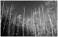 Forest of white birch trees against blue sky. Acadia National Park ( black and white)