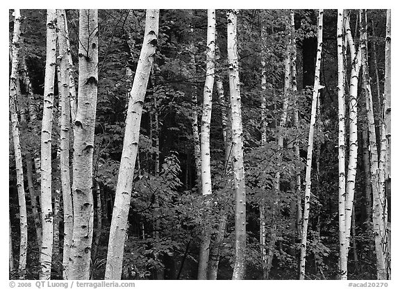White birch trunks and orange leaves of red maples. Acadia National Park (black and white)