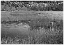 Reeds in pond with trees in fall foliage in the distance. Acadia National Park, Maine, USA. (black and white)
