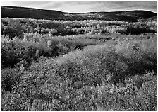 Shrubs, and hills with trees in autumn colors. Acadia National Park ( black and white)