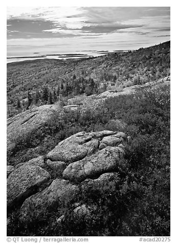 Poison Sumac in bright fall color, rock slabs, forest on hillside, and coast. Acadia National Park (black and white)