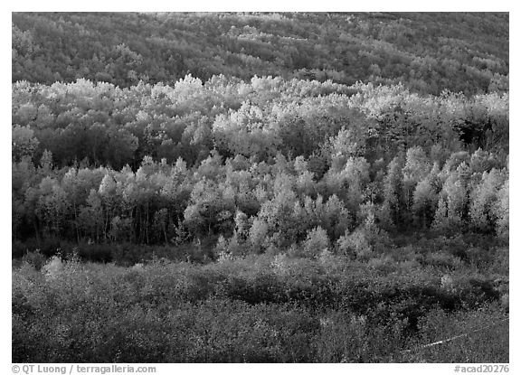 Mosaic of autumn color trees on hillside. Acadia National Park (black and white)