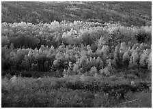 Mosaic of autumn color trees on hillside. Acadia National Park ( black and white)
