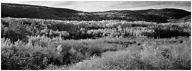 Forest landscape in the fall. Acadia National Park (Panoramic black and white)