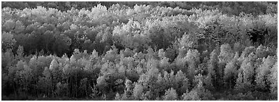 Distant trees in fall foliage. Acadia National Park (Panoramic black and white)