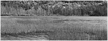 Pond, reeds and trees in autumn. Acadia National Park (Panoramic black and white)