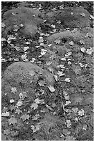 Fallen leaves on green moss. Acadia National Park ( black and white)