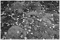 Green moss with red maple leaves. Acadia National Park ( black and white)