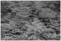 Young pine trees. Acadia National Park ( black and white)