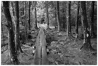 Boardwalk in wet forest environment. Acadia National Park ( black and white)