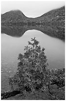 Sapling growing out of branch and hills, Jordan Pond. Acadia National Park ( black and white)