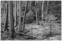 Pine saplings and tree trunks. Acadia National Park ( black and white)