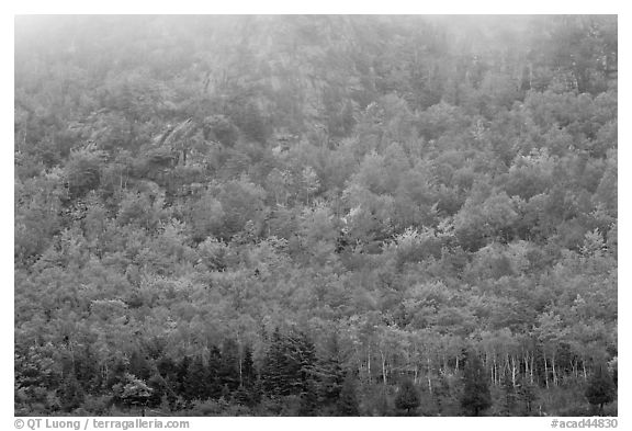Trees in fall foliage on hillside beneath cliff with fog. Acadia National Park (black and white)