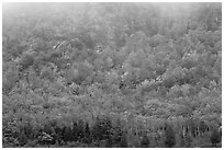 Trees in fall foliage on hillside beneath cliff with fog. Acadia National Park ( black and white)