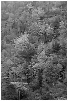 Trees in autumn colors on hillside. Acadia National Park ( black and white)