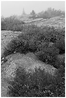 Lichen-covered rocks and red berry plants in fog, Cadillac Mountain. Acadia National Park ( black and white)