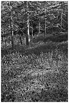 Bare berry plants and conifers, Bowditch Mountain, Isle Au Haut. Acadia National Park ( black and white)