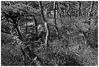 Twisted pine trees, Isle Au Haut. Acadia National Park ( black and white)