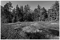 Bog and forest, Isle Au Haut. Acadia National Park ( black and white)
