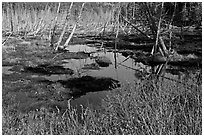 Tree skeletons and swamp, Isle Au Haut. Acadia National Park, Maine, USA. (black and white)