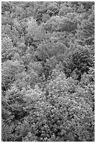 Deciduous tree canopy. Acadia National Park ( black and white)