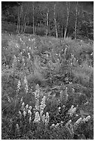 Goldenrods and birches. Acadia National Park ( black and white)
