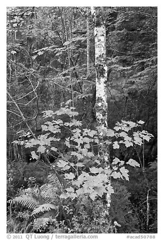 Vine maple and birch tree, and cliff in summer. Acadia National Park (black and white)