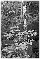 Vine maple and birch tree, and cliff in summer. Acadia National Park ( black and white)