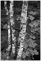 Maple leaves and birch trunks in summer. Acadia National Park ( black and white)