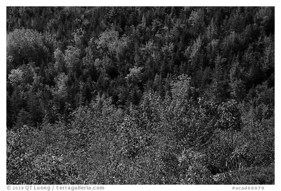 Shrubs and trees on hillside, early fall. Acadia National Park (black and white)