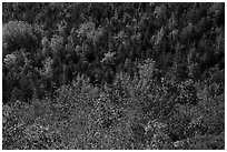 Shrubs and trees on hillside, early fall. Acadia National Park ( black and white)