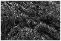 Close-up of grasses. Acadia National Park ( black and white)
