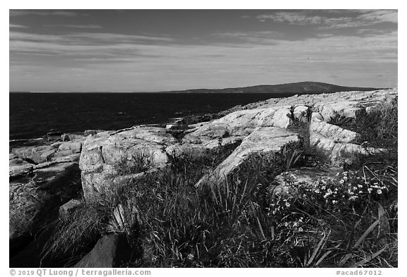 Wildflowers, Schoodic Point. Acadia National Park (black and white)