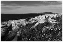 Wildflowers, Schoodic Point. Acadia National Park ( black and white)
