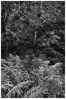 Ferns and tree with berries. Acadia National Park ( black and white)