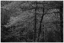 Hardwood trees in autumn foliage. Acadia National Park ( black and white)