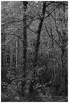 Trees in bright autumn foliage. Acadia National Park ( black and white)