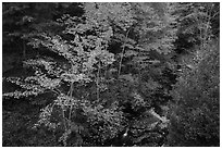 Trees in autumn foliage and Duck Brook from above. Acadia National Park ( black and white)