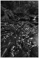 Duck Brook with fallen leaves. Acadia National Park ( black and white)