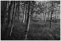 Birch trees, Jesup Path. Acadia National Park ( black and white)