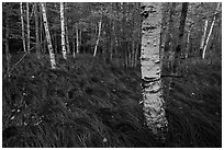 Grasses and birch trees, Sieur de Monts. Acadia National Park ( black and white)