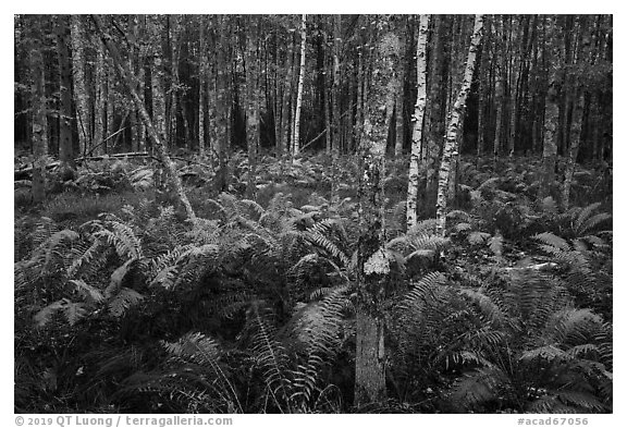 Ferns and trees, Sieur de Monts. Acadia National Park (black and white)