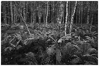 Ferns and trees, Sieur de Monts. Acadia National Park ( black and white)