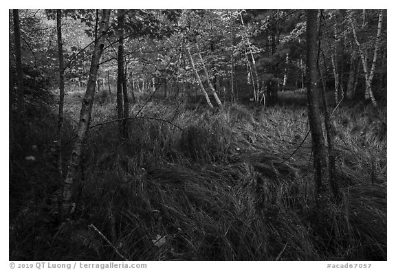 Grasses and trees, Jesup Path. Acadia National Park (black and white)