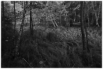 Grasses and trees, Jesup Path. Acadia National Park ( black and white)