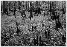 Dry swamp with cypress knees in summer. Congaree National Park, South Carolina, USA. (black and white)