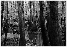 Swamp with bald Cypress and tupelo in summer. Congaree National Park, South Carolina, USA. (black and white)