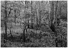 New undercanopy growth in summer. Congaree National Park ( black and white)